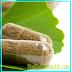 7 Obat Pelangsing Herbal Paling Populer dan Ampuh Langsingkan Perut