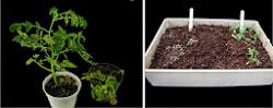 Una Vacuna para Plantas y Semillas