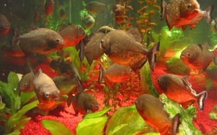 Facts Piranha