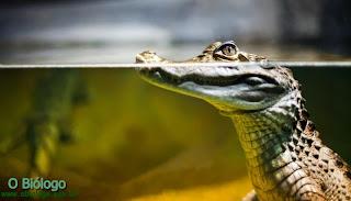 jacare-caiman-biologia