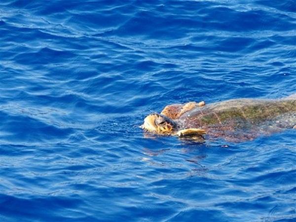 Chroniony żółw z Zakynthos