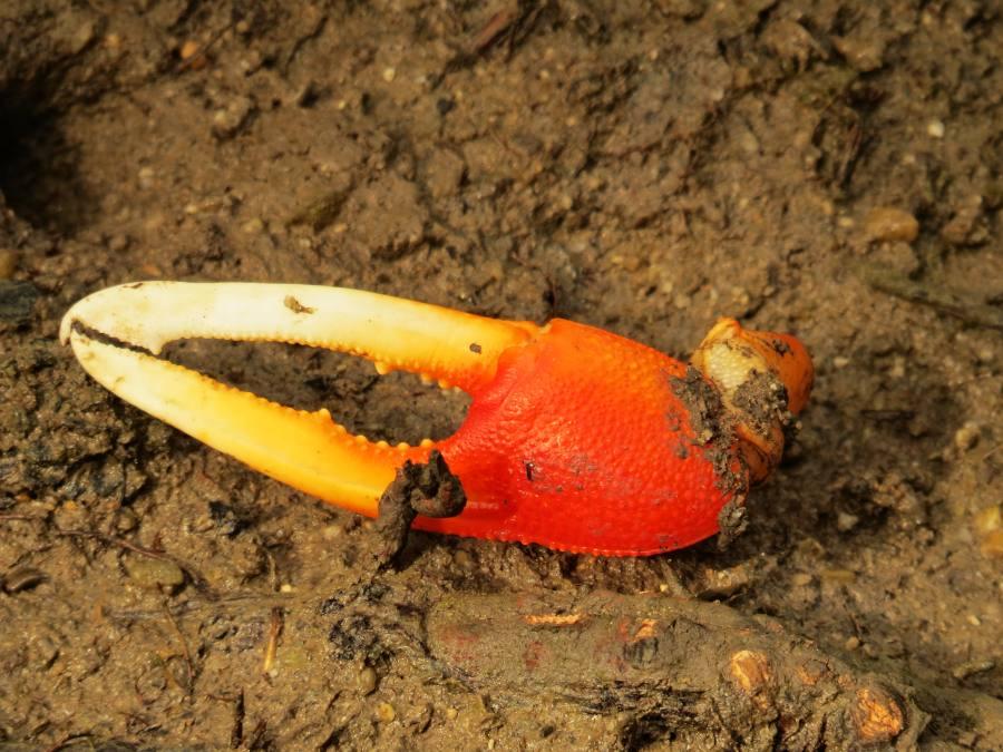 fiddler crab claw