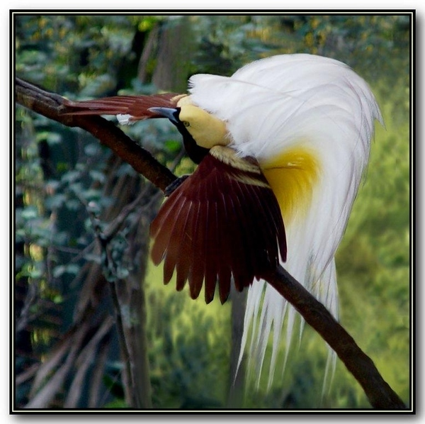 Rare Birds Of Paradise Unusual Birds C...