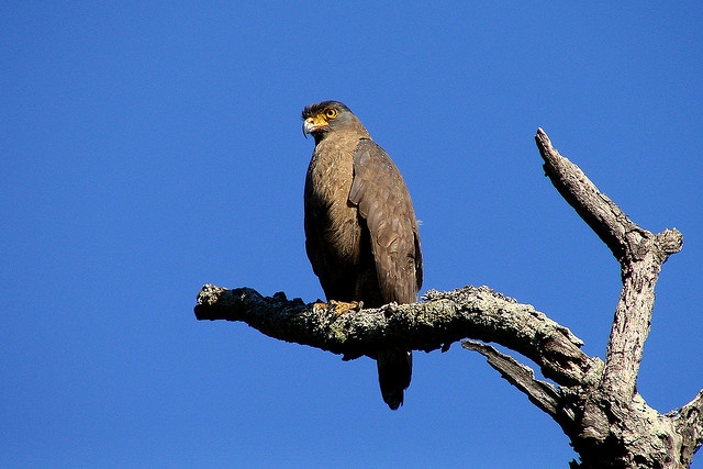 Serpent eagles