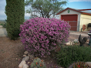 Texas Sage in bloom