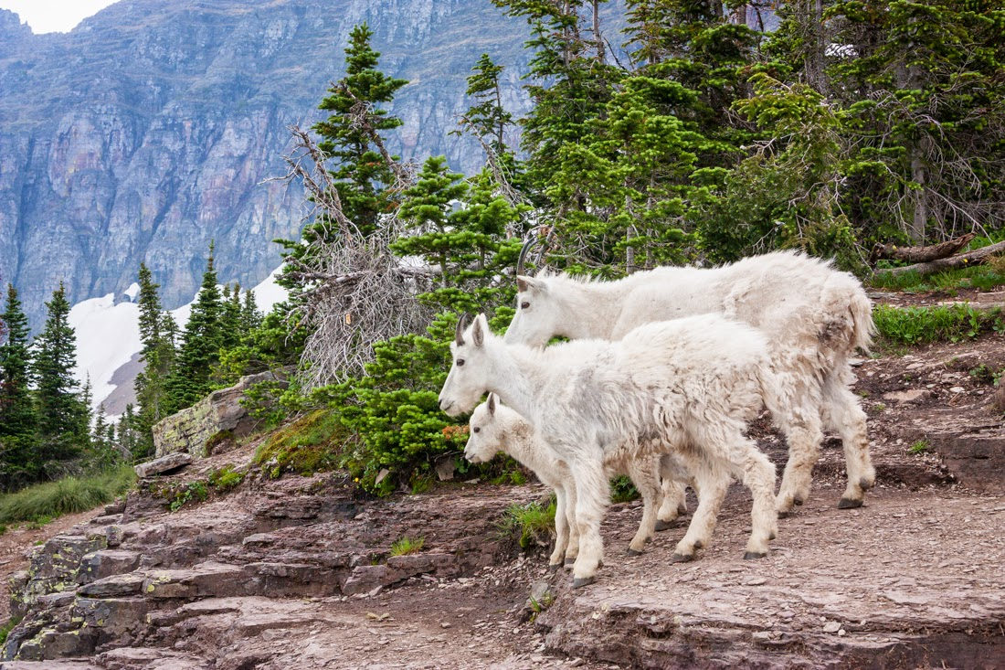 goats, wildlife, glacier national park