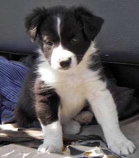 Border Collie Puppy Pic