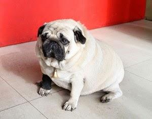 pug obeso