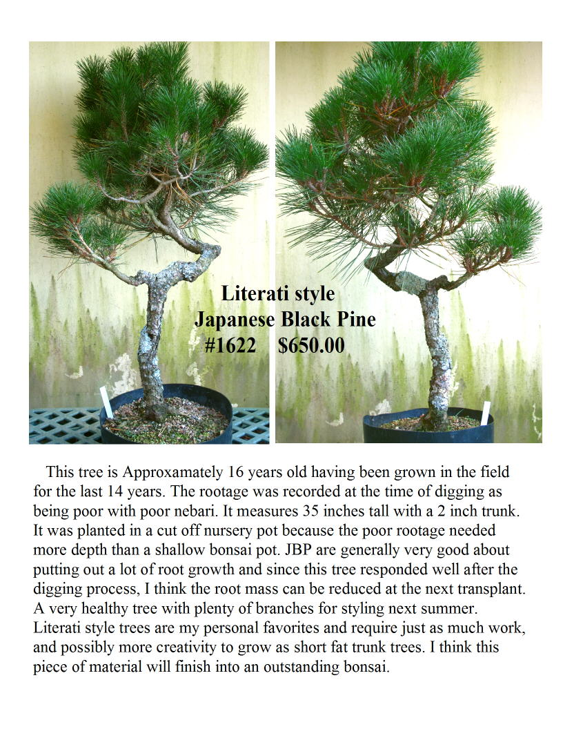 #1622 Japanese Black Pine