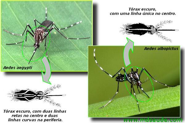 Diferenças ente o Aedes aegypti e o Aedes albopictus