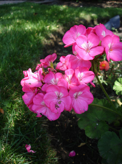 over wintered geraniums