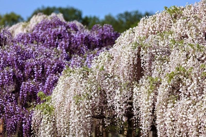 Ливень нежных глициний в Ashikaga Flower Park (28 фото)