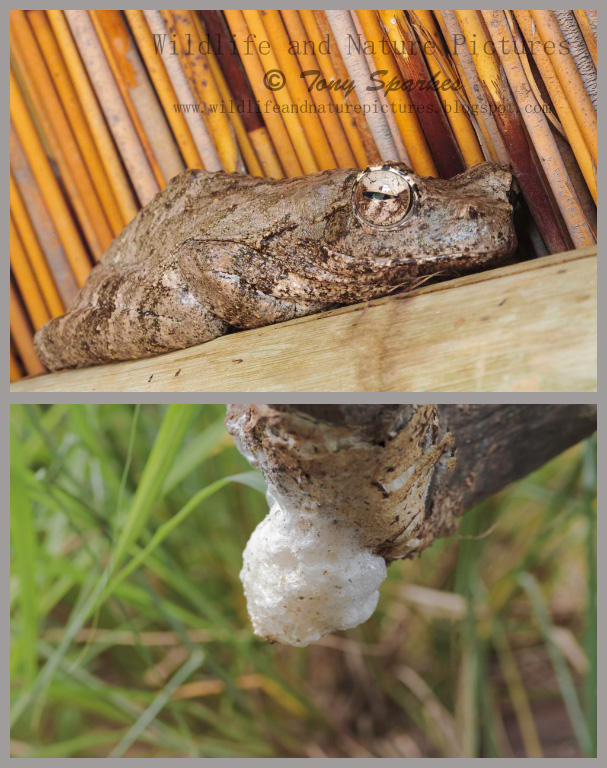 Grey Foam Nest Frog and Foam Nest- Nature and Polyandry
