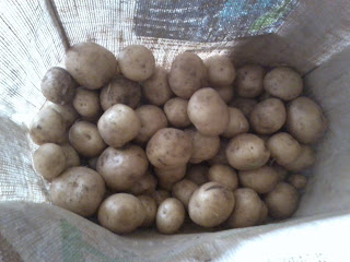 first early rocket potatoes