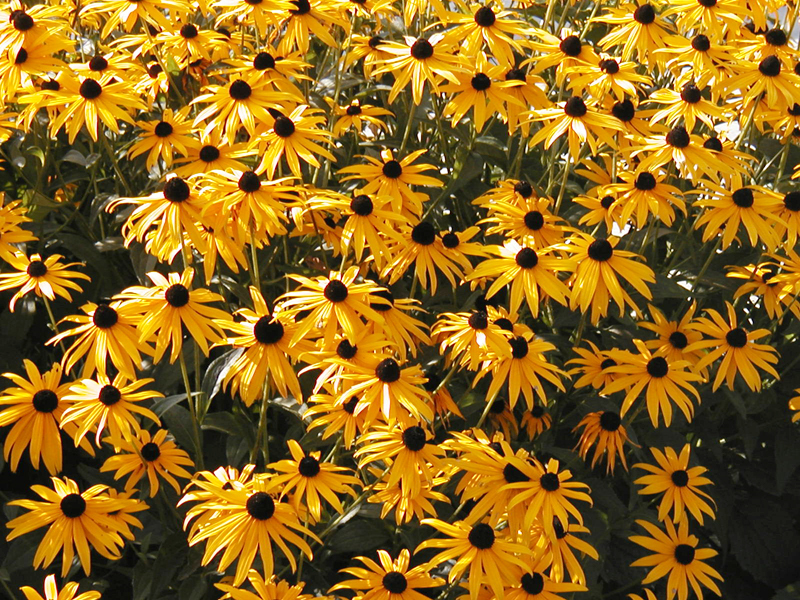 The enchanted petal chrysanthemum Black eyed susans