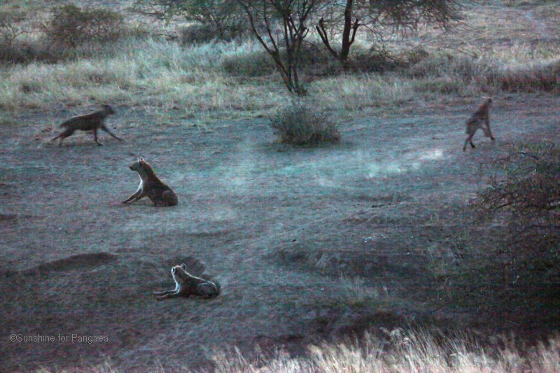 Spotted hyenas by the hyena caves in the Awash National Park