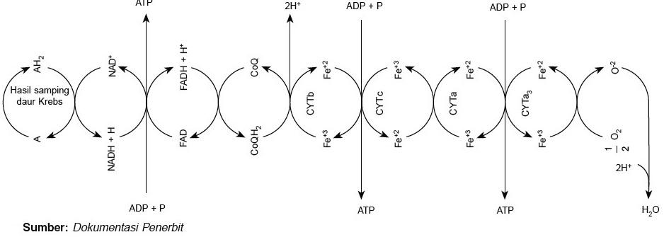 Respirasi aerob dan respirasi anaerob sistem transpor elektron ccuart Choice Image