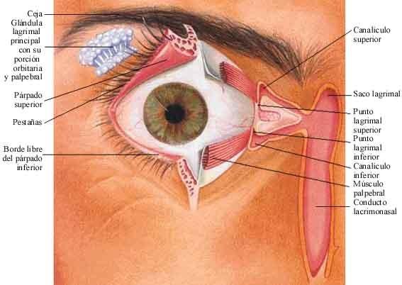Fisiología: Receptores sensoriales: la visión