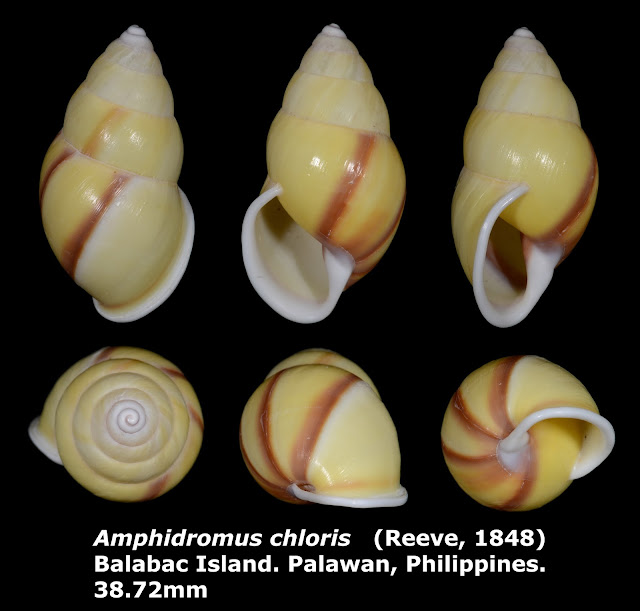 Amphidromus chloris 38.72mm