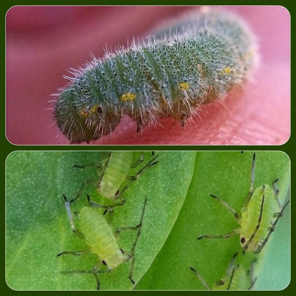 Eco Journey In The Burbs Diy Celery: Eco Journey In The Burbs: Organic Garden Pest Control