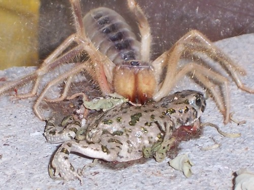 ... giant+spide... Giant Camel Spider Size