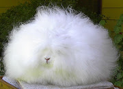 The Angora rabbit is a variety of domestic rabbit bred for its long, .