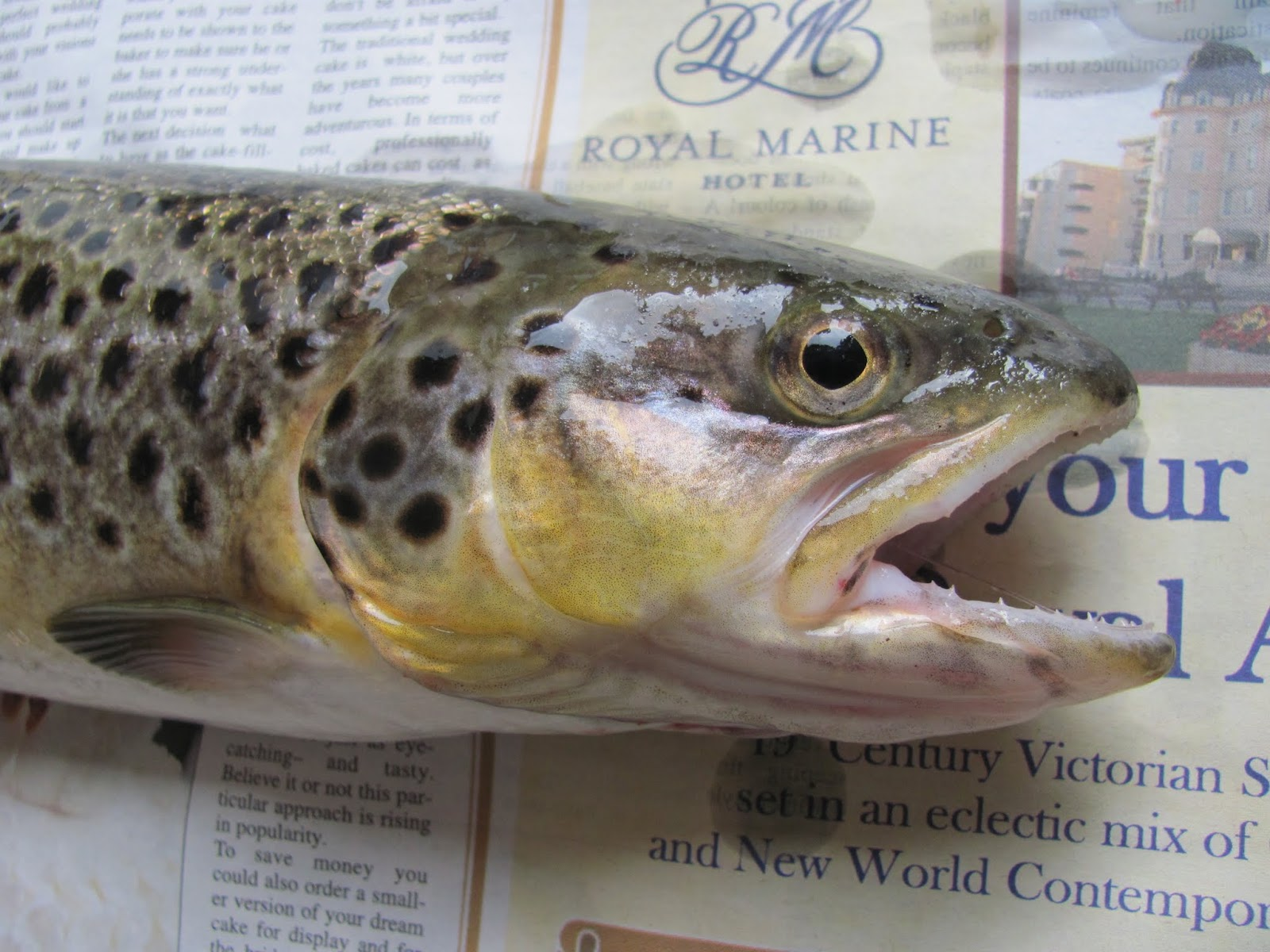 A brown trout caught from the River Dodder in Dublin, Ireland