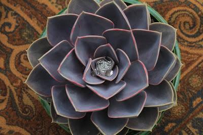 Echeveria 'Perle Von Nrnberg'