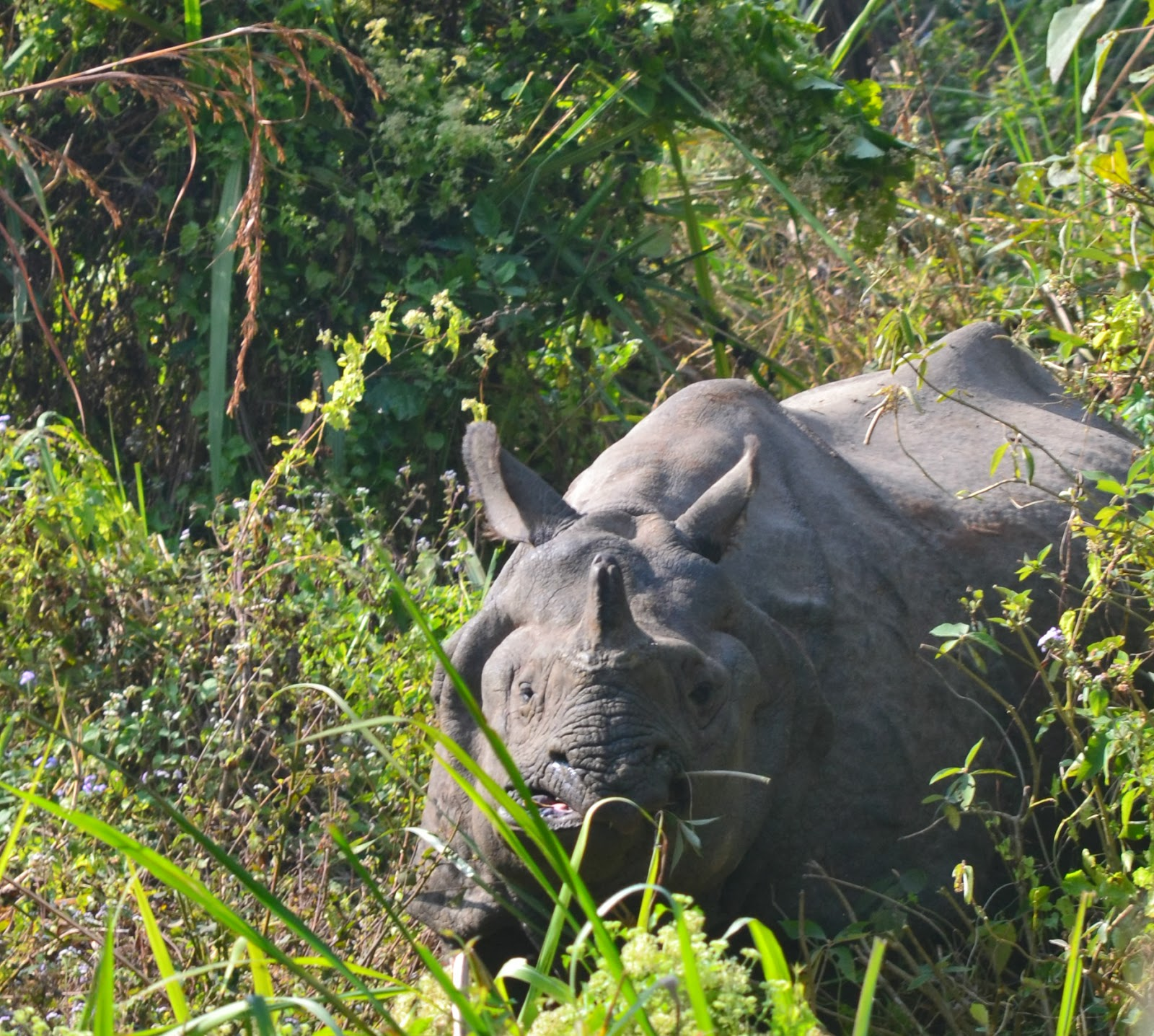 rhino in chitwan nepal