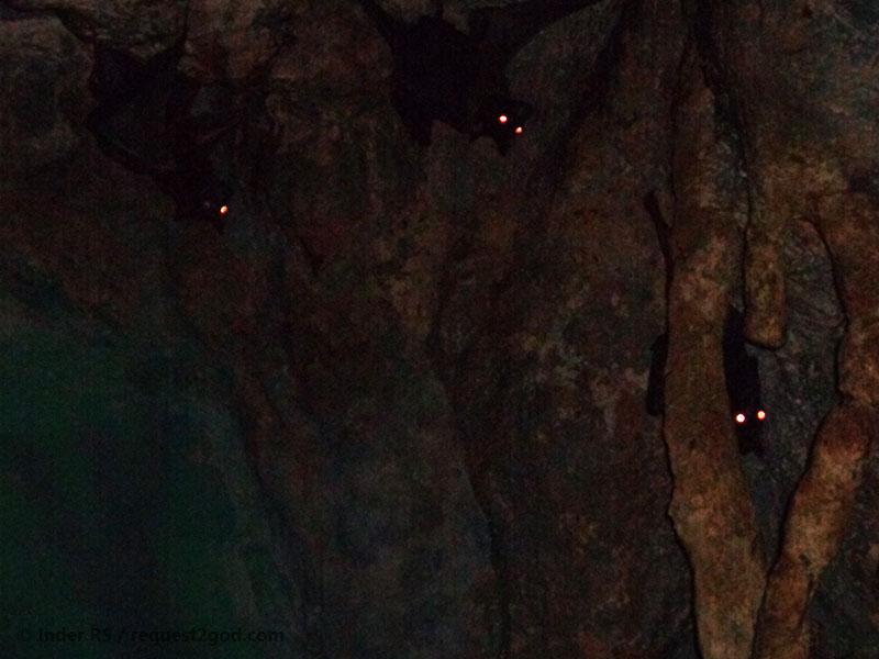 bats, fruit bat, flying fox, mega bats, bat