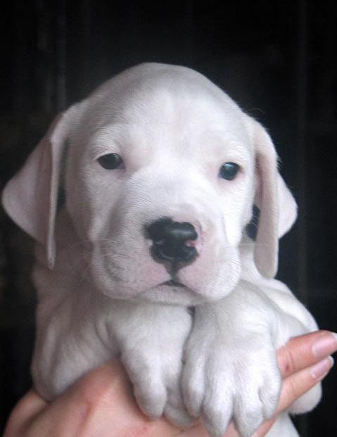 ... dog argentinian videos sense tube http tube 7s b com dog argentinian