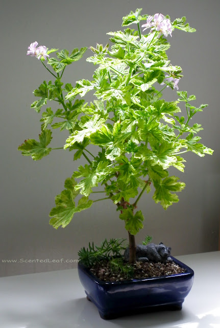 Pelargonium Charity - the stem grows columnar with bushy branches