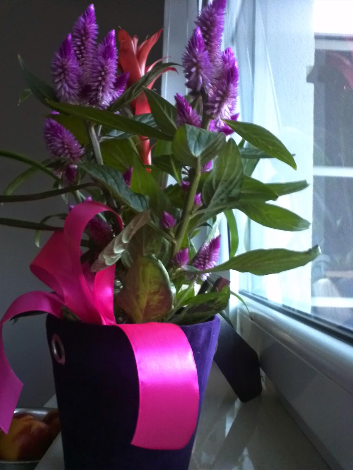 celozja, fioletowe kwiaty, możliwe zasuszanie