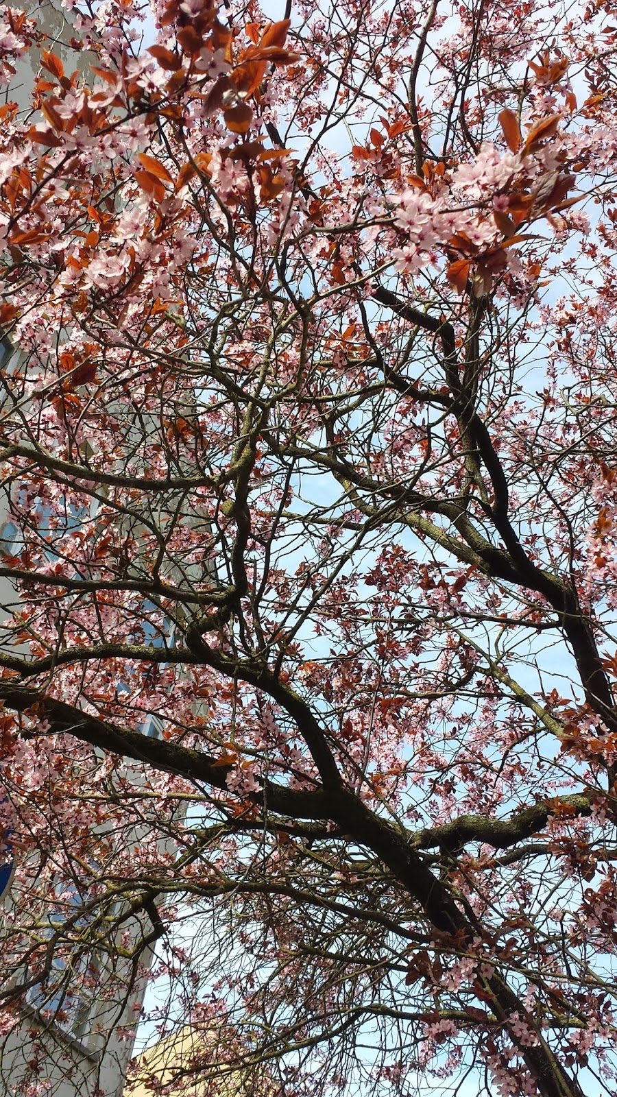 rosa Blütenbäume