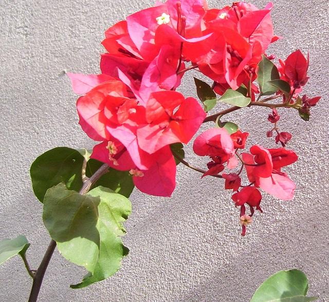 Bounganvillea de flor fucsia