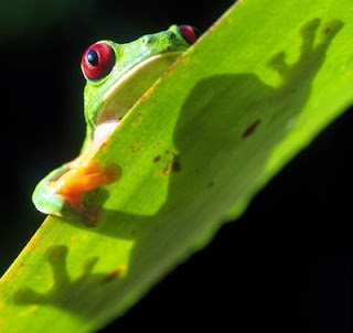 A red-eyed treefrog