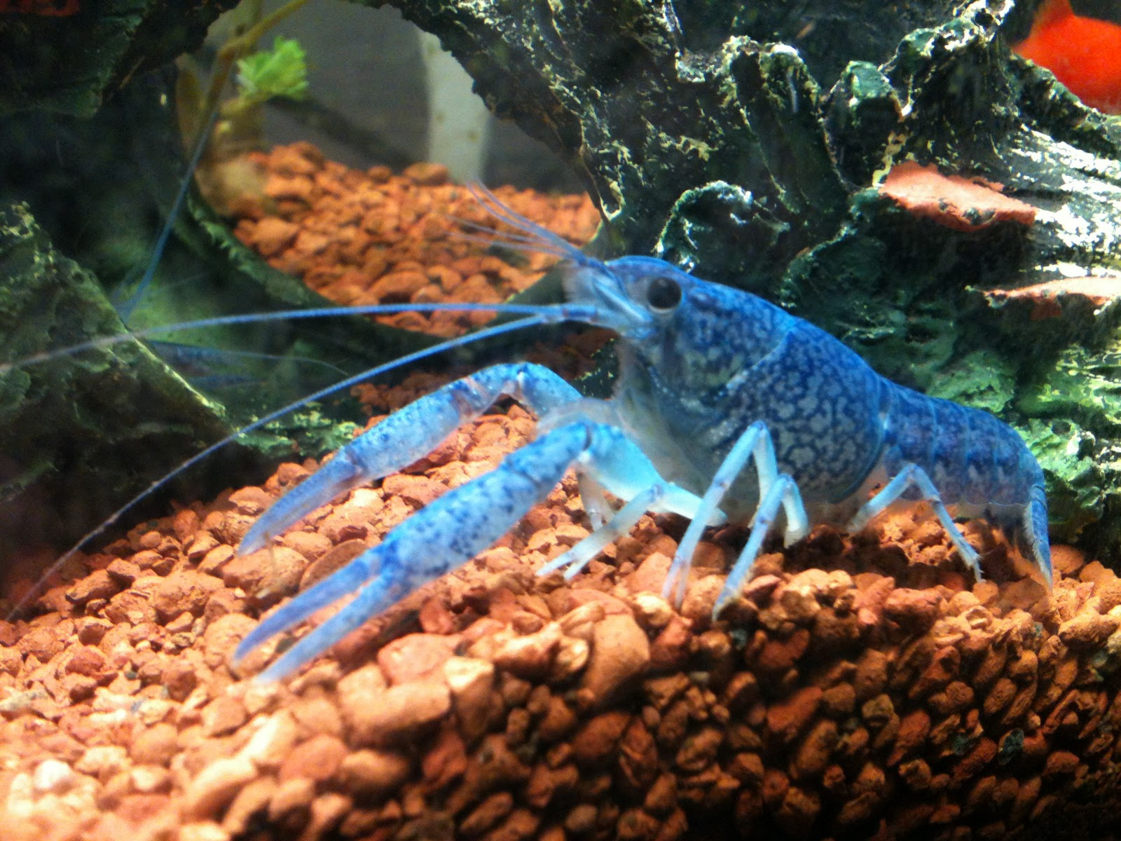 Blue crayfish fish tank related keywords blue crayfish for Blue fish aquarium