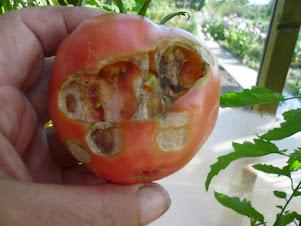 Кто-то грызет помидоры. Что делать?