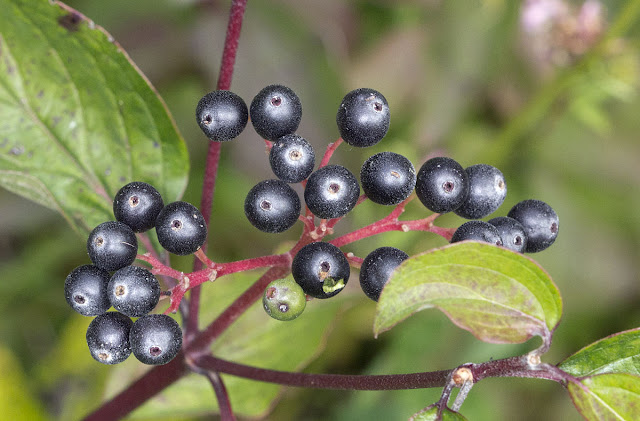 Berries of Dogwood, Cornus sanguinea, on Burnt Gorse at High Elms Country Park, 22 August 2011.