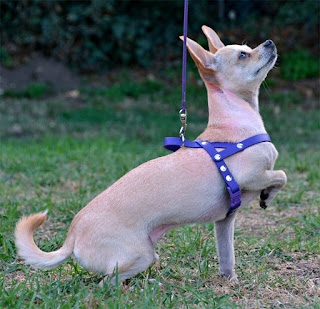 tiny biothane chihuahua harness
