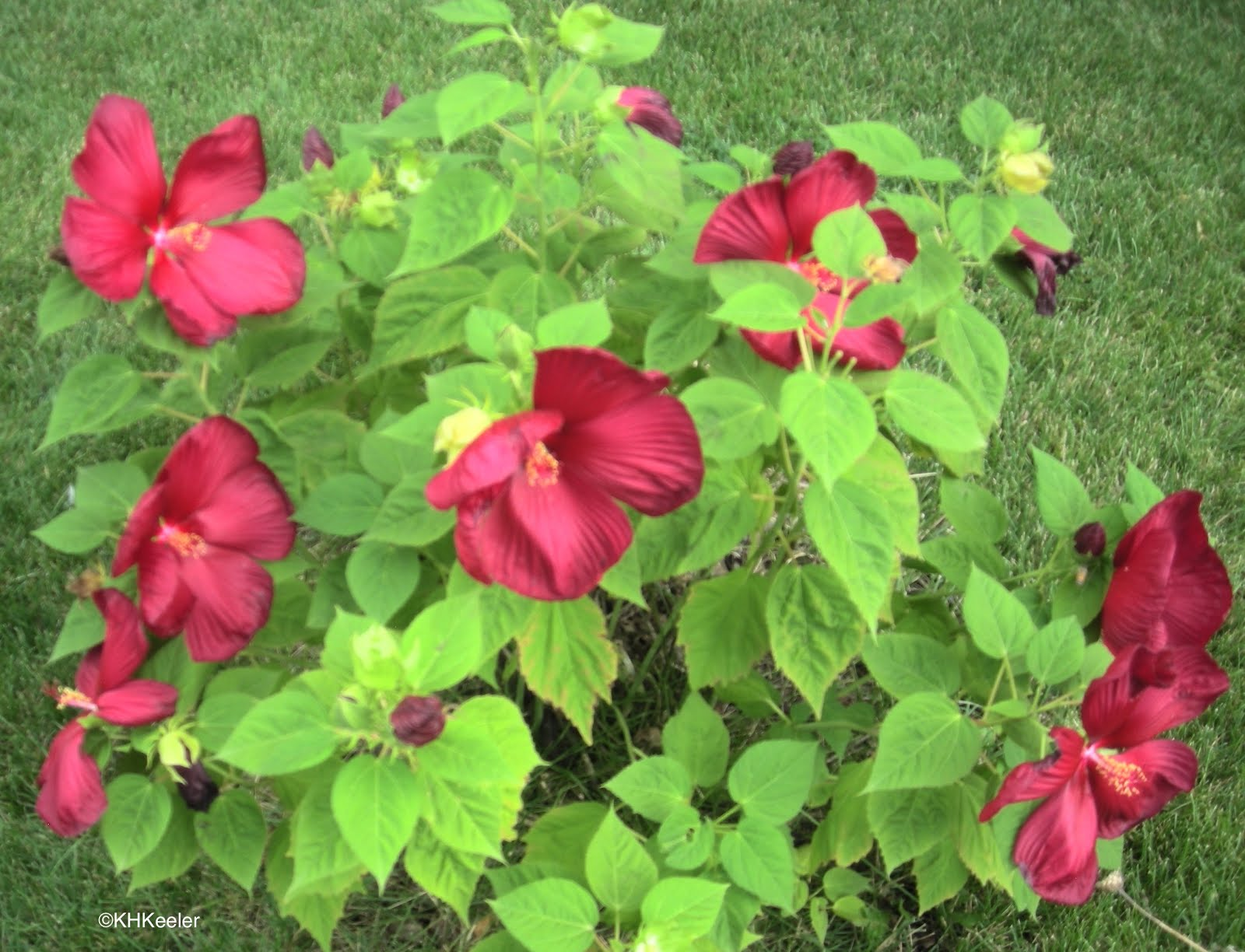 A wandering botanist plant story hibiscus flowers of this hybiscus made a nice dye h xmoscheutos not h syriaca izmirmasajfo