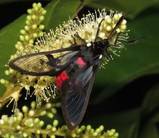 Erebidae, Arctiinae