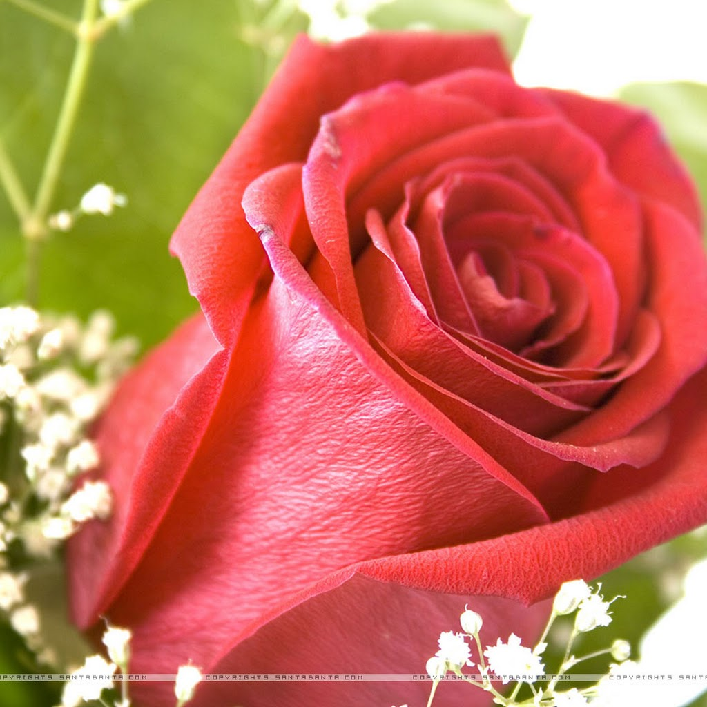 Different Images Of Rose Flowers
