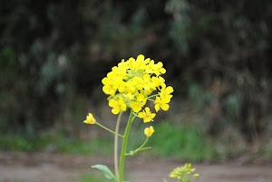 田舎の土地に咲く菜の花