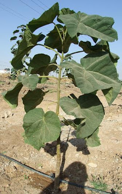 invasive Paulownia is also used quite successfully in reforestation projects