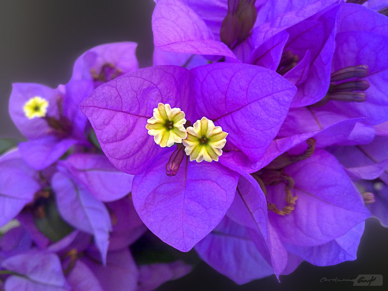 boungainvillea glabra hojas lilas
