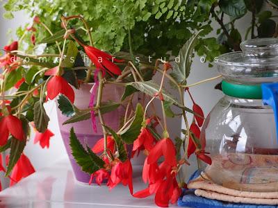 begonia vases experiment