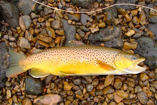 Brown Trout from Idaho Fly Fishers Blog