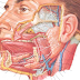 Anatomy and Physiology of the Salivary Glands and Sialography