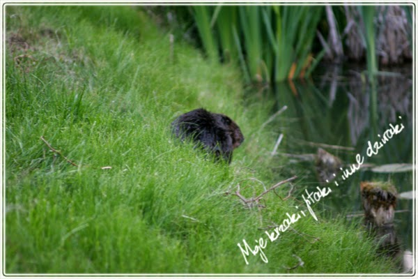 życie bobrów,życie bobrów, european beaver, castor fiber